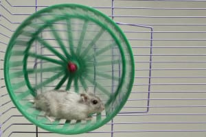 WordPress Upgrade Hamster Wheel