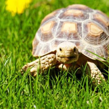 A slow turtle